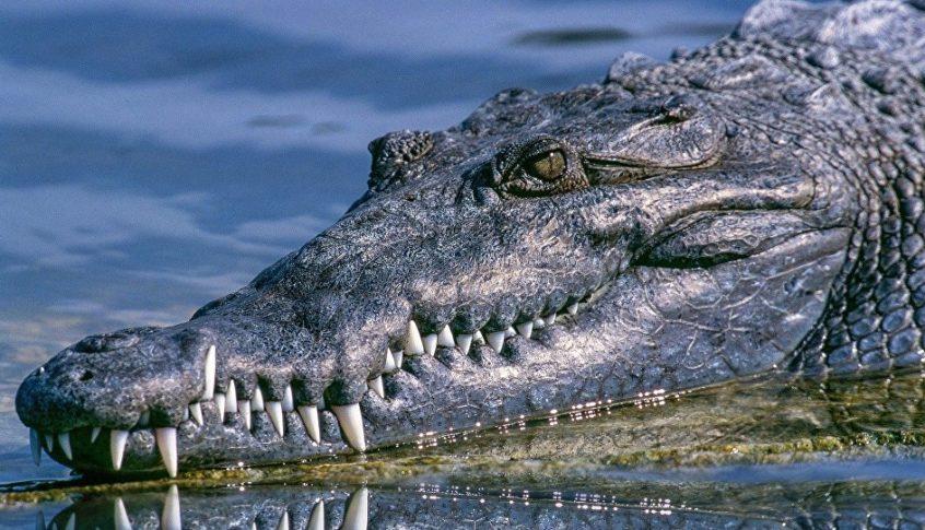 تمساح انقضّ على رجل أثناء الإعصار…والعثور على بقايا بشرية بجوفه