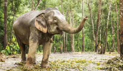 بالفيديو: فيل ضخم يتجول داخل فندق ويثير دهشة النزلاء