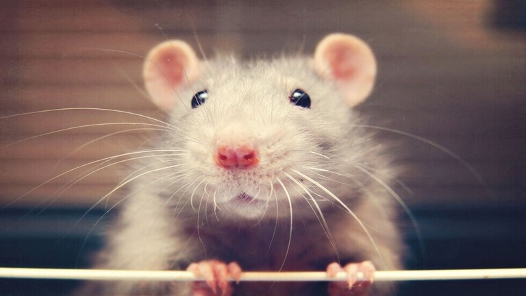 """لقاح محتمل لـ""""كوفيد-19″ يحقق نتائج مبشرة في دراسة على الفئران"""