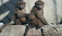 القرود تسرق عينات دم مرضى كورونا في الهند!