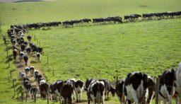 """بهجوم غادر.. """"قطيع أبقار"""" يقتل مسناً في بريطانيا!"""