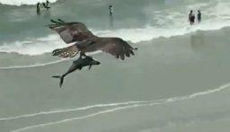 مشهد غريب لطير ضخم يحلق عالياً حاملاً سمكة تشبه القرش(بالفيديو)