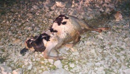 مصلحة الليطاني: رفع ابقار نافقة من بحيرة القرعون!