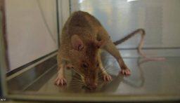 هكذا دخلت.. فئران عملاقة تغزو المنازل البريطانية!